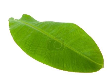 Photo pour Feuille de banane verte fraîche isolée avec chemin de coupe 5 - image libre de droit