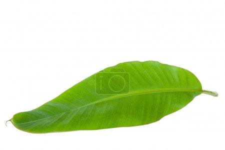 Photo pour Feuille de banane verte fraîche isolée avec chemin de coupe - image libre de droit