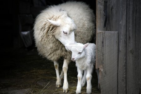 Maternal instinct. Sheep and lamb.