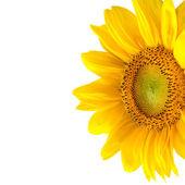 Isolated yellow sunflower
