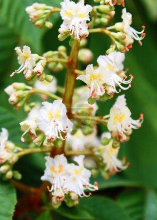 Photo pour Châtaignier en fleurs - image libre de droit