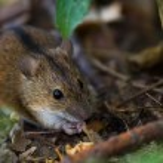 Striped field mouse among sticks having breakfast ...
