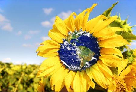 Earth in spring sunflower.