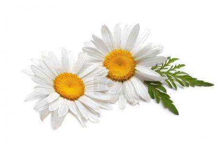 Photo pour Camomille fleur - image libre de droit