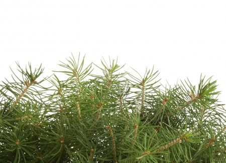 Photo pour Branche épinette verte - image libre de droit