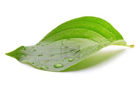 Photo for Green leaf with water drops - Royalty Free Image