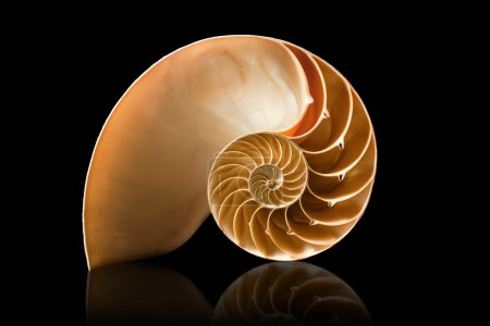 Photo for A perfect and amazing fibonacci pattern in a nautilus shell - Royalty Free Image