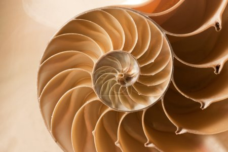 Photo for A perfect close up of an amazing fibonacci pattern in a nautilus shell - Royalty Free Image