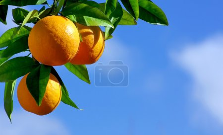 Photo pour Oranges hanging tree - image libre de droit