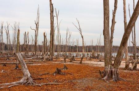 Photo pour Arbres morts dans la forêt autour d'un lac à faible niveau d'eau - image libre de droit