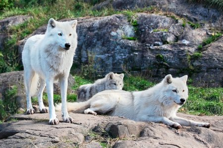Photo for A family of arctic wolves are looking ahead. - Royalty Free Image