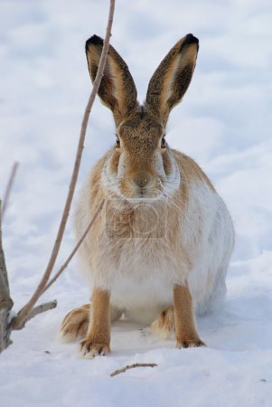 Photo for Brown hare with long ears on snow background - Royalty Free Image
