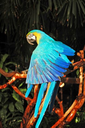 Blue african parrot
