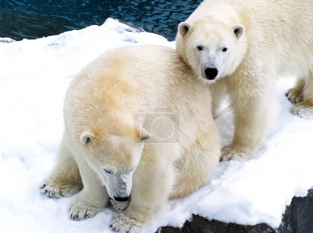 Two polar bears close together