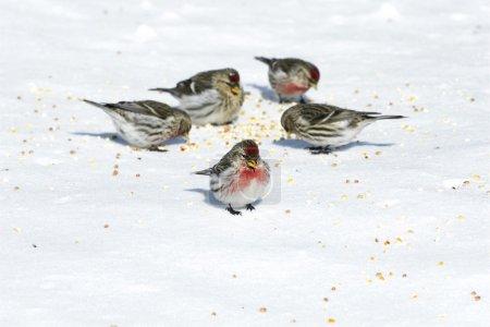 Foto de Grupo de pequeños y coloridos redpolls común con plumas Mansito comiendo semillas sobre la nieve en un día de invierno muy frío. - Imagen libre de derechos