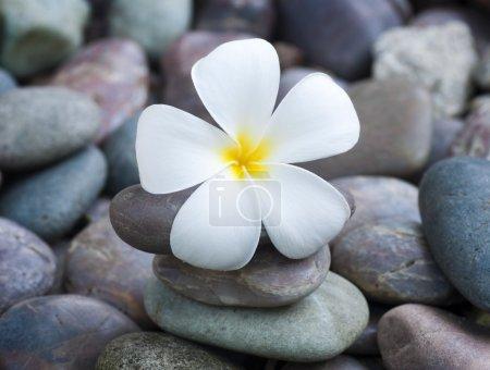 Photo pour Frangipani blanc et pierres de thérapie - image libre de droit