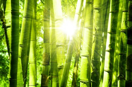 Photo for Asian Bamboo forest with morning sunlight. - Royalty Free Image
