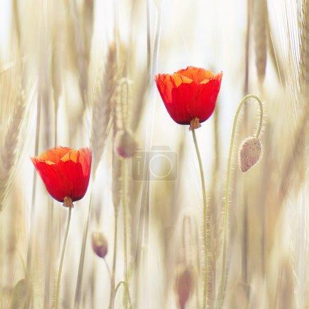 Photo pour Coquelicots dans le champ de blé - image libre de droit