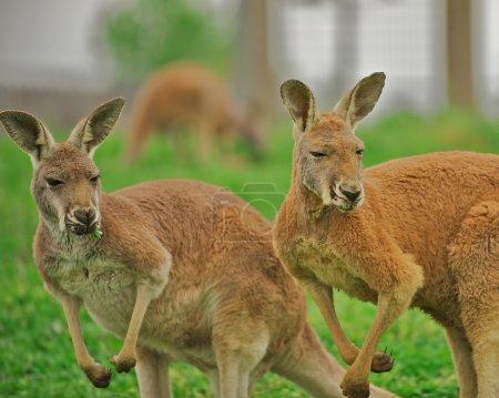 Two alert kangaroos standing on hind legs.