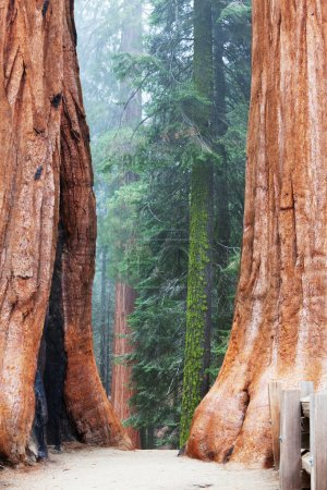 Photo for Sequoia forest in fog - Royalty Free Image