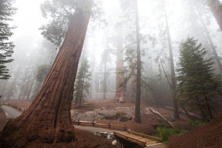 Photo pour Forêt de séquoias dans le brouillard - image libre de droit