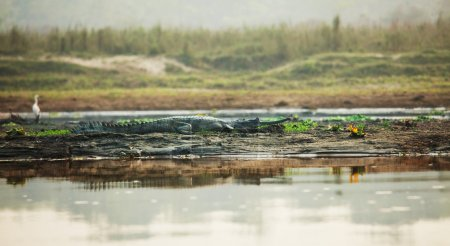 Crocodile in Chitwan,Nepal