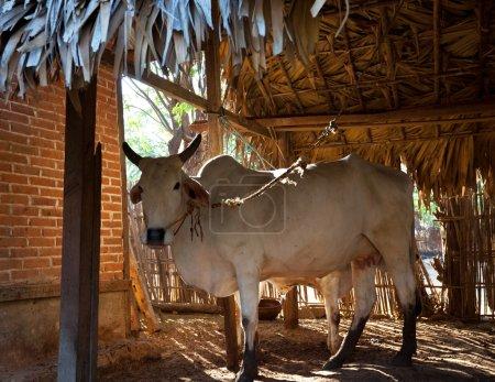 Cow in village