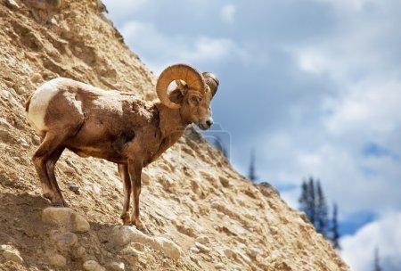 Goat on rock