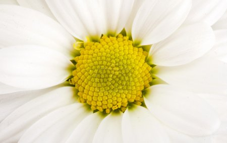 Close-up of camomile flower. Use for background...
