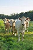 Young Charolais cows