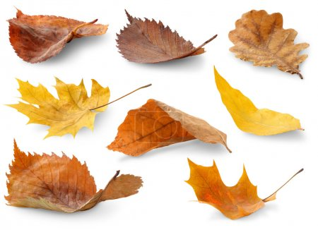 Photo for Collection of autumn leaves isolated on white - Royalty Free Image