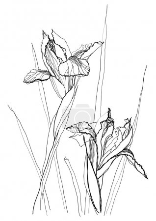 Illustration for Iris flower drawing on white background - Royalty Free Image