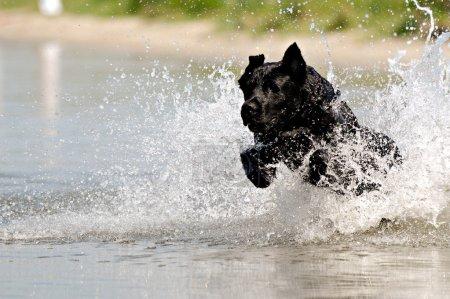 Black dog in water