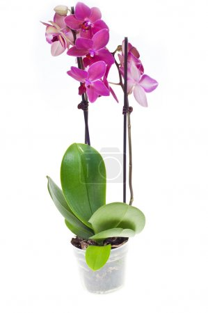 Photo for Orchid phalaenopsis in pot, isolated on white background - Royalty Free Image
