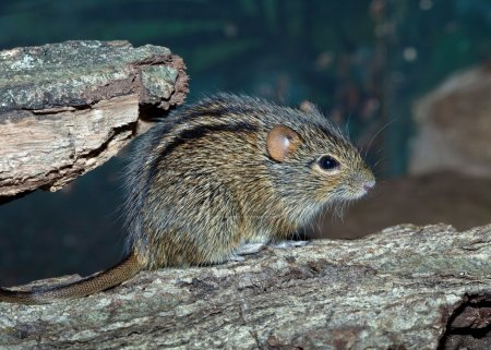 The African Striped Grass Mouse.