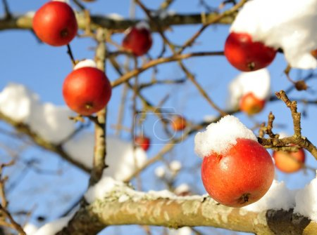 Photo for Winter apples covered by snow - Royalty Free Image