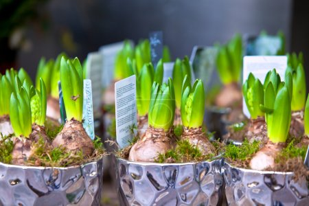 Growing Hyacinths