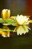 White yellow lotus flower