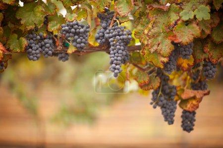 Photo pour Raisins de vin mûrs et luxuriants sur la vigne prêts pour la récolte . - image libre de droit