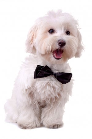 Bichon maltese with mouth open