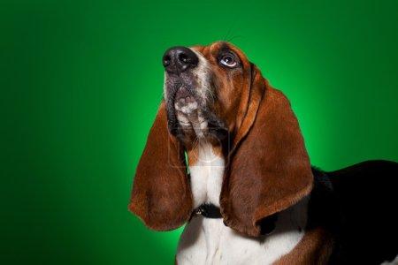 Big basset hound dog looking up