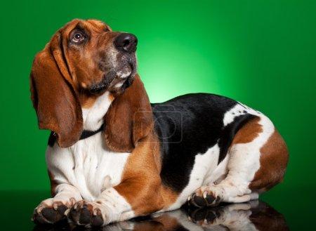 Basset dog on green background