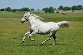 White horse galloping around the field