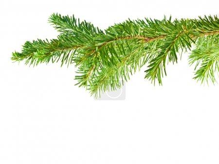 Photo pour Cadre de branche d'arbre à feuilles persistantes isolé sur fond blanc - image libre de droit