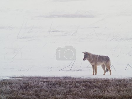 Photo for A coyote walks on the frozen, snowy fields of the West Plains - Royalty Free Image