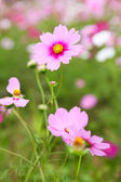 Cosmos flowers in outdoor park