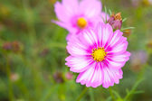Colorful cosmos flower closeup