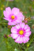 Cosmos flowers closeup
