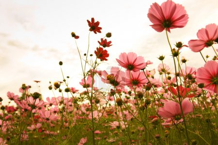 Photo for Cosmos flowers in sunset - Royalty Free Image