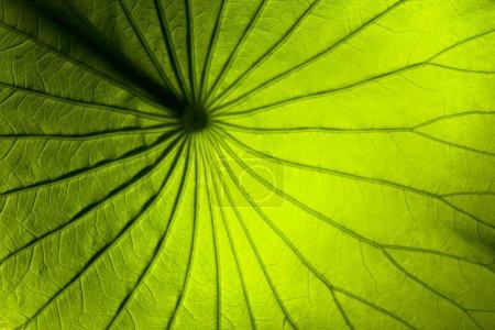 Photo pour Image de macro de la face inférieure d'une feuille de Lys vert - image libre de droit